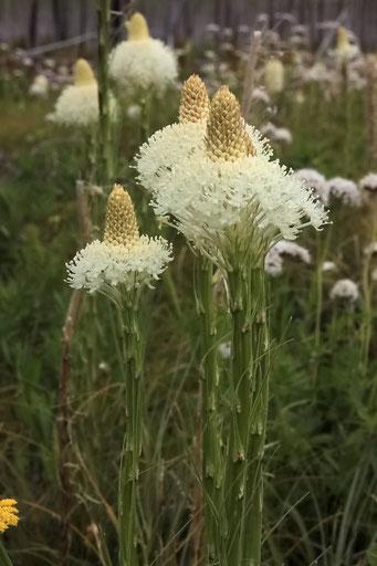 Blumen wie blühende Spargel