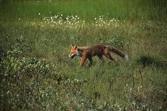 Junger Fuchs, Dalton Highway, Alaska