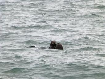 Vergnügte Seeotter, Homer Spit, Alaska