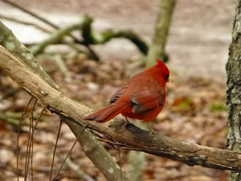 Männchen..., Manatee Springs State Park, FL, USA
