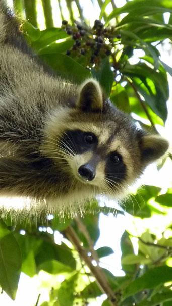 ...und scheu sind sie nicht - Collier-Seminole State Park, FL, USA
