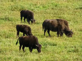 ... und hier in der Herde, Alaska Highway, Kanada