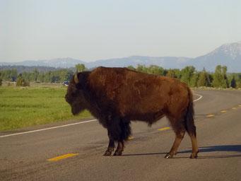Bison im Teton N.P. ...