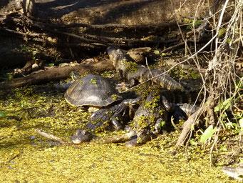 Highland Hammock State Park, FL, USA, Krokodilie und Schildkröten sind in Floridia allgegenwärtig