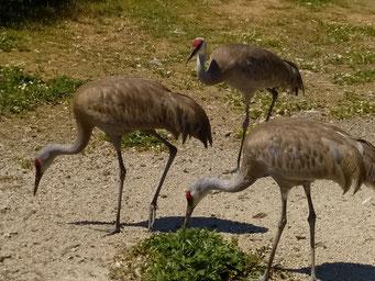 Kraniche im Vogelreservat auf Westham Island