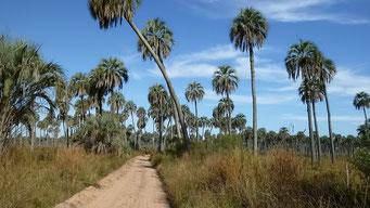 Palmenwald hinter Campingplatz