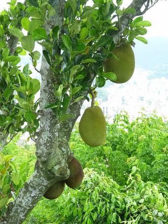 ... Früchte so gross wie Kürbisse