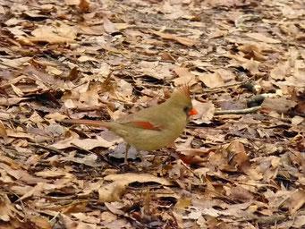 ... Weibchen, Manatee Springs State Park, FL, USA