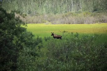 Erster Elch gesichtet, Alaska
