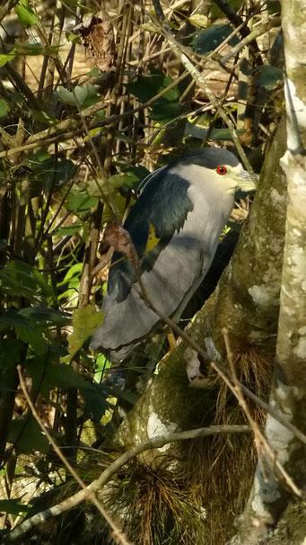 In Florida gibt es unzählige Reiherarten - Big-Grey-Egred, Highland Hammock State Park, FL, USA