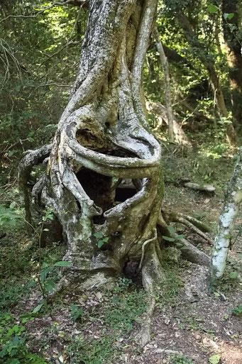 Mburucuya N.P., Würge-Ficus