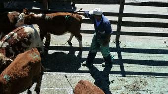 Viehmarkt in Bulnes