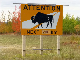 Zebrastreifen für Bisons... Yellowknife Highway, Kanada