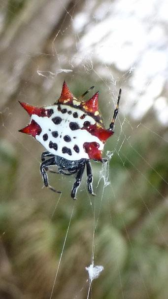 Das ist eine Spinne! Highland Hammock State Park, FL, USA