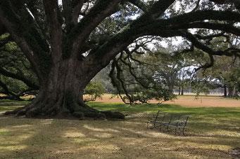 Oak Alley Plantation - wunderschöne Bäume