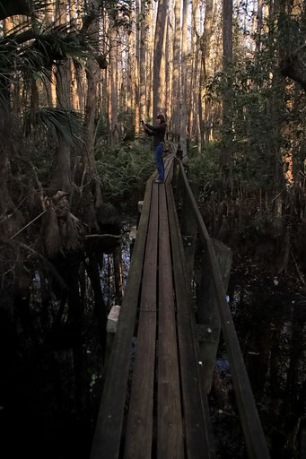 Cypressen-Sumpf, Highland Hammock State Park, FL, USA