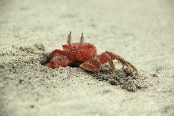 Mompiche - Zeit um Krabben zu fotografieren