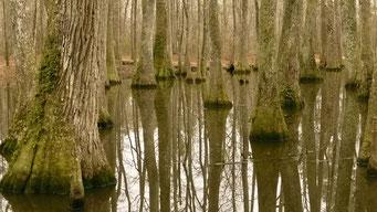 Mississippi Delta - Cypressen Sümpfe findet man auch hier