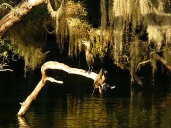 Blue Springs - hierher kommen die Manatees zum Überwintern