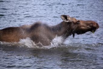 Moose im Moose Lake, Jasper N.P.