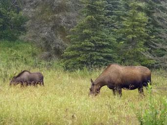 Elk-Kuh mit Jungtier, Ninilchik, Alaska