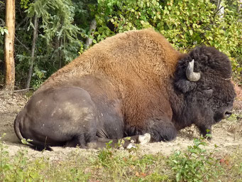 ... und hier sind sie, die Bisons ...