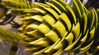 Copahue - Araukarien Wälder