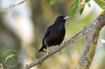 Estornino negro (Sturnus unicolor)