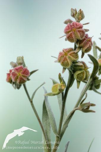 Cynoglossum cheirifolium_frutos
