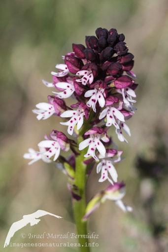 Orchis ustulataa