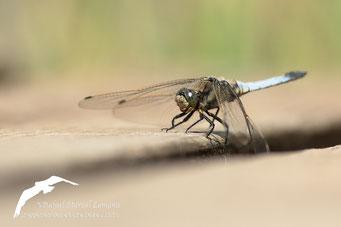 libélula (Orthetrum cancellatum)
