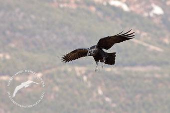 Cuervo (Corvus corax)