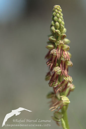 Orchis anthropophora