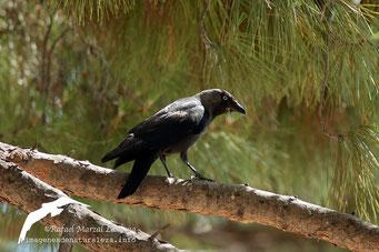 Grajilla (Corvus monedula)