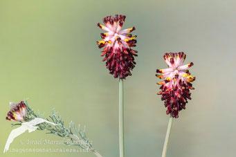 Platicapnos spicata