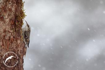 Agateador norteño (Certhia familiaris)