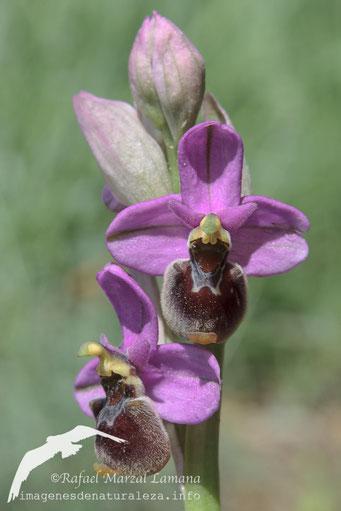 Ophrys ficalhoana hibrida.jpg