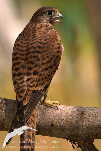 Cernícalo vulgar (Falco tinnunculus)