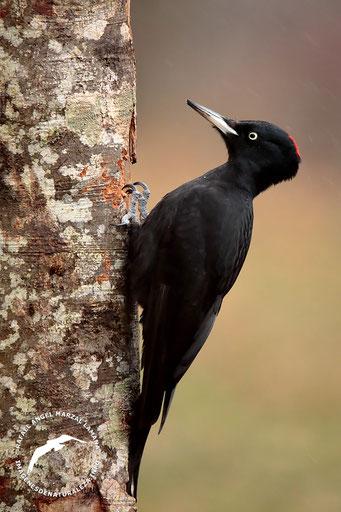 Pito negro (Dryocopus martius)
