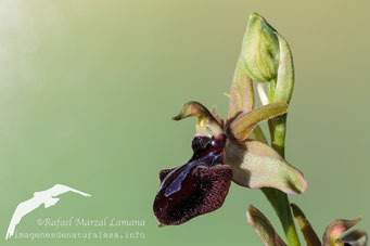 Ophrys passionis