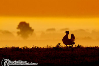 Background great bustard