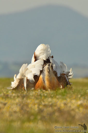 Great bustard from wildlife photo hides