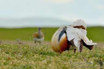Great bustard mating