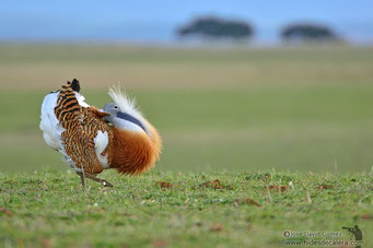 Great bustard in lek zone