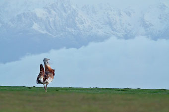 Great bustard photography in spain