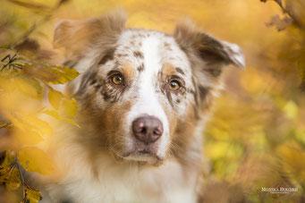 Hundeshooting, Australian Shepherd