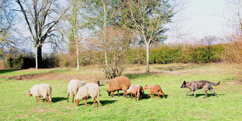schapenhoedster