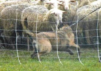 aanlegtest schapenhoeden in Groede