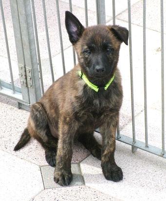 Dido als pupje bij kennel van de Molengors