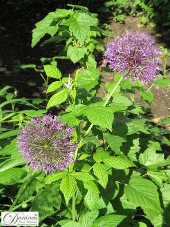 Bienenblumen & Schmetterlingsblumen - die schönsten Zwiebelpflanzen wie der Zierlauch